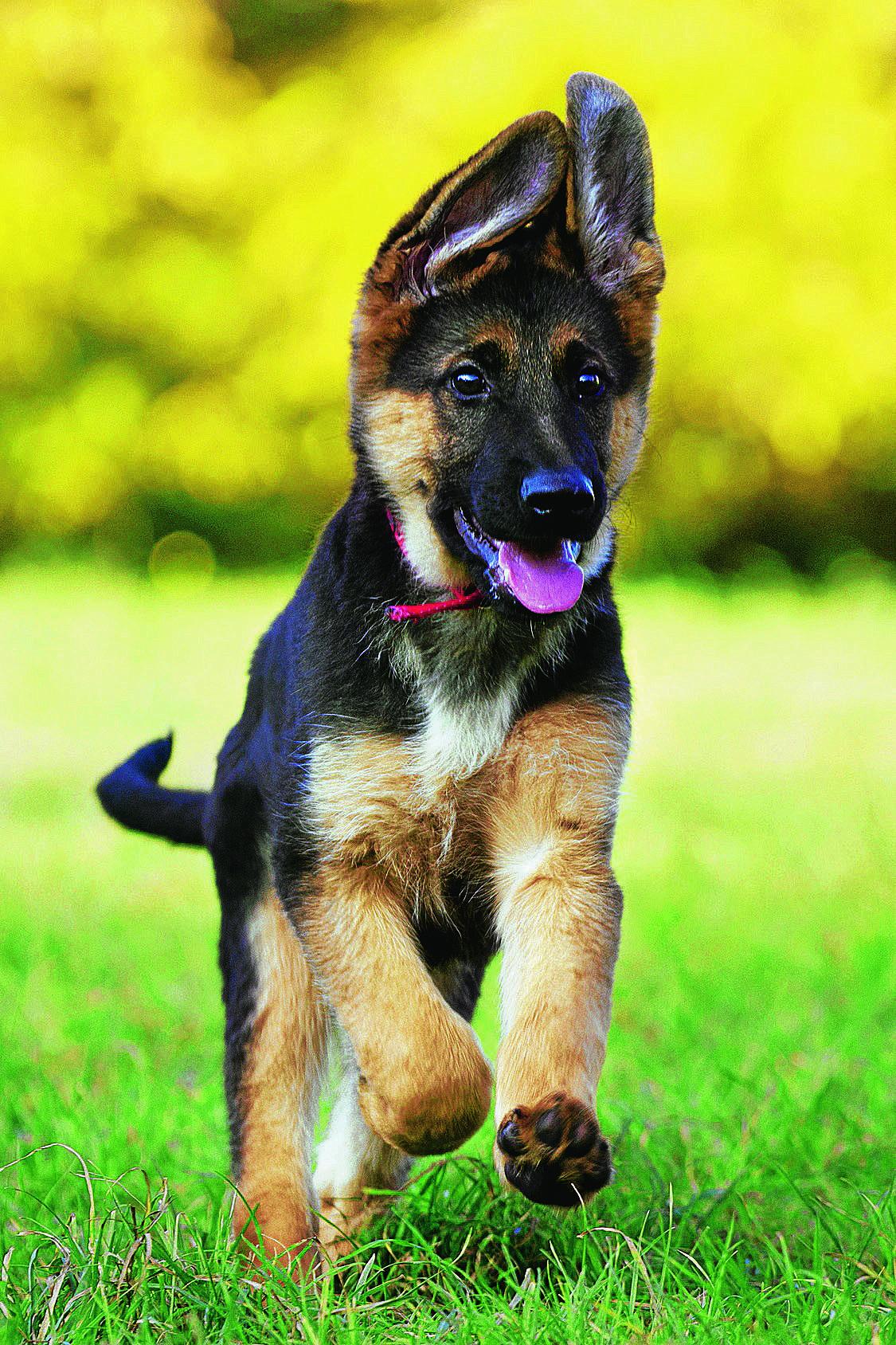картинки собак овчарок немецких щенков поздравить
