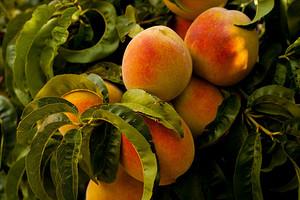 5 интересных фактов о персике