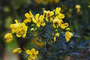 Трава сенны: мифы, правда и реальная польза для кишечника