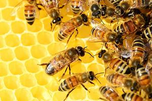 Полезное дело пчел: лечебные свойства и применение прополиса