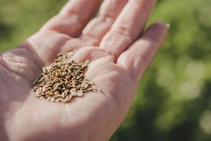 Лечебные свойства и применение семян укропа: 4 полезных народных рецепта