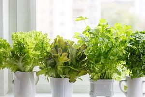 Сажаем салат на подоконнике: 5 секретов, как быстро и без особого труда получить урожай