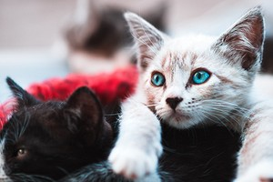 К чему снится котенок: толкование по Фрейду, Ванге и другим сонникам