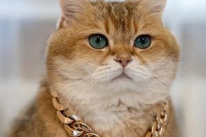 Более миллиона подписчиков и рекламные контракты: история о звезде кошачьего блогерского мира - шотландце Хосико из Москвы