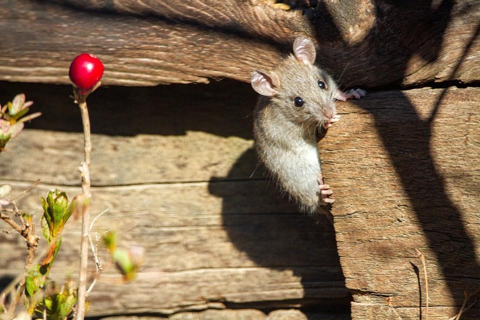 Как избавиться от мышей в доме или на даче: 12 работающих способов (видео)