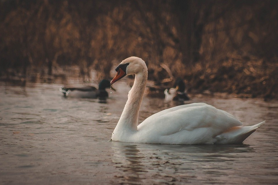 Чем можно покормить лебедей на озере или море, чтобы не навредить