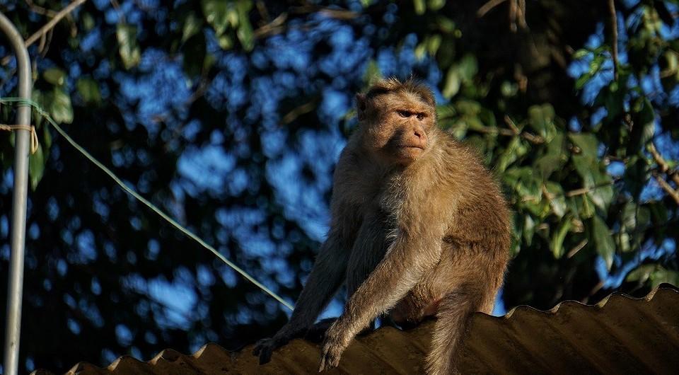 К чему снится обезьяна: толкование снов про обезьяну мужчине, женщине