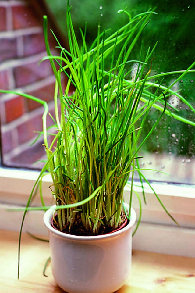 Зелень дома: как вырастить петрушку и шнитт-лук