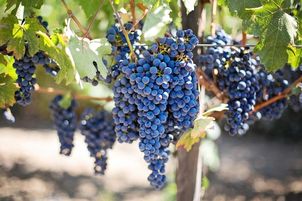 Виноградный день — для тех, кто не любит диеты