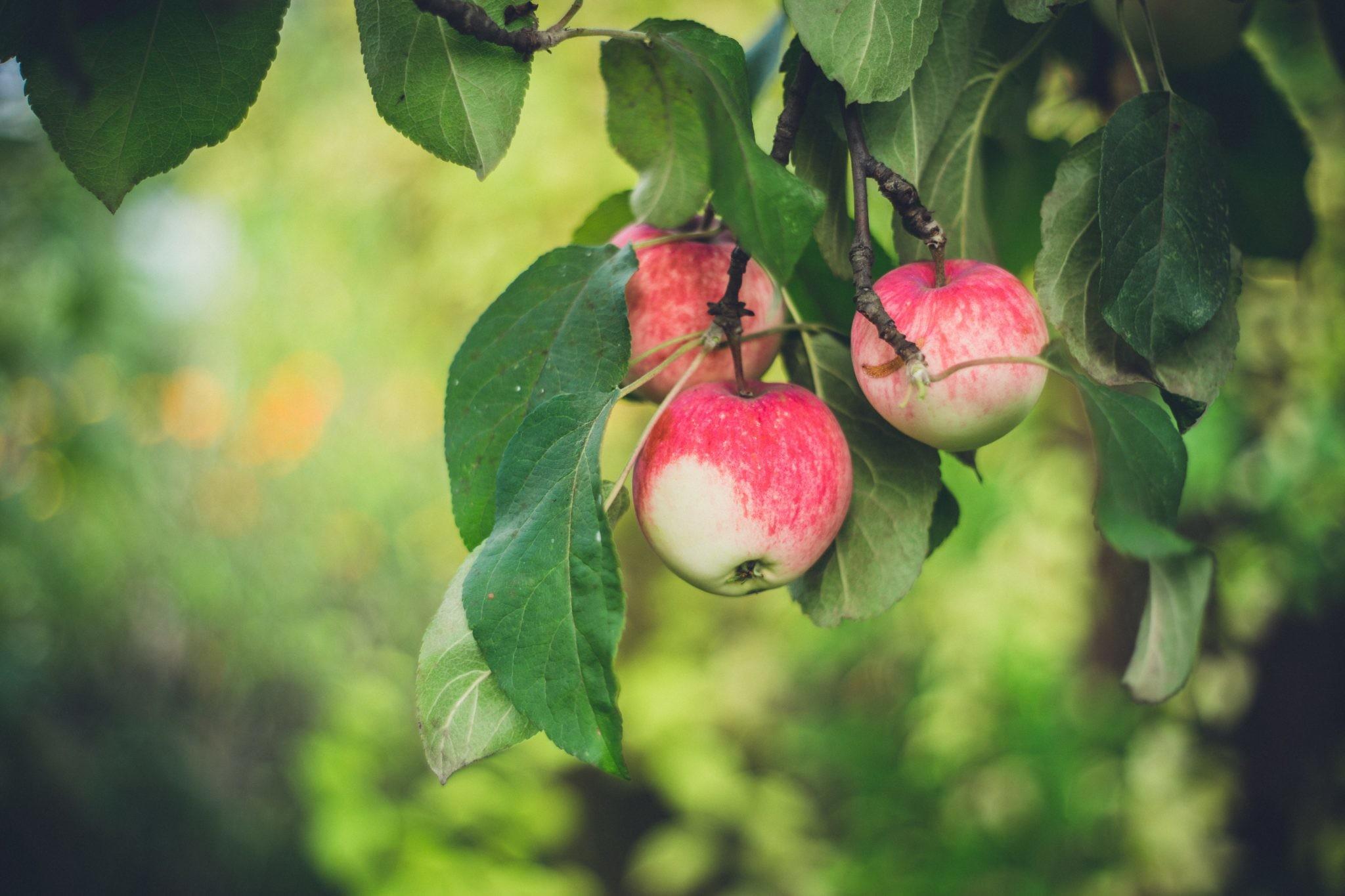 Факт дня: одно яблоко в день может предотвратить сердечный приступ