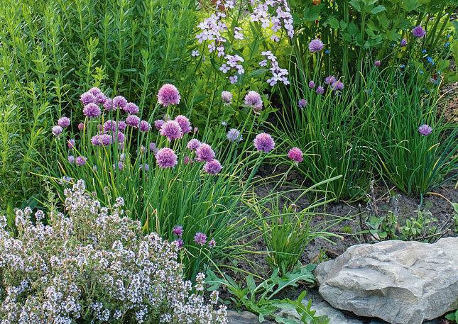 Как посадить пряные травы на огороде