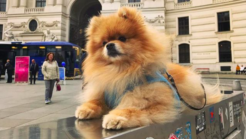 Почему шпицы самые популярные собаки в сети?