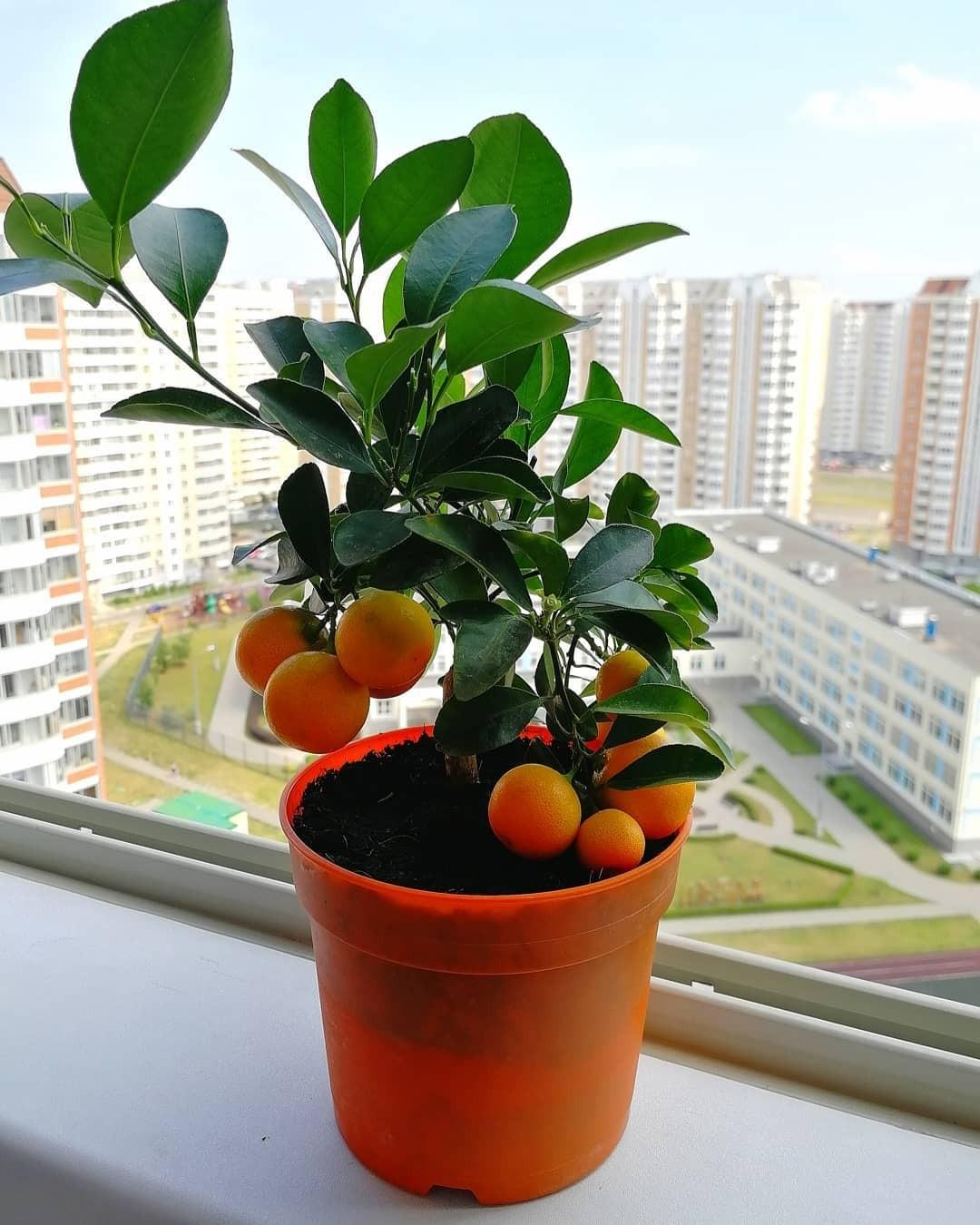 Как вырастить мандарин в домашних условиях: подборка советов и идей