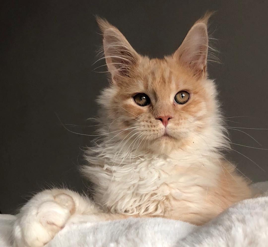 От мейн-куна до сфинкса: топ-4 самых любимых пород кошек у россиян