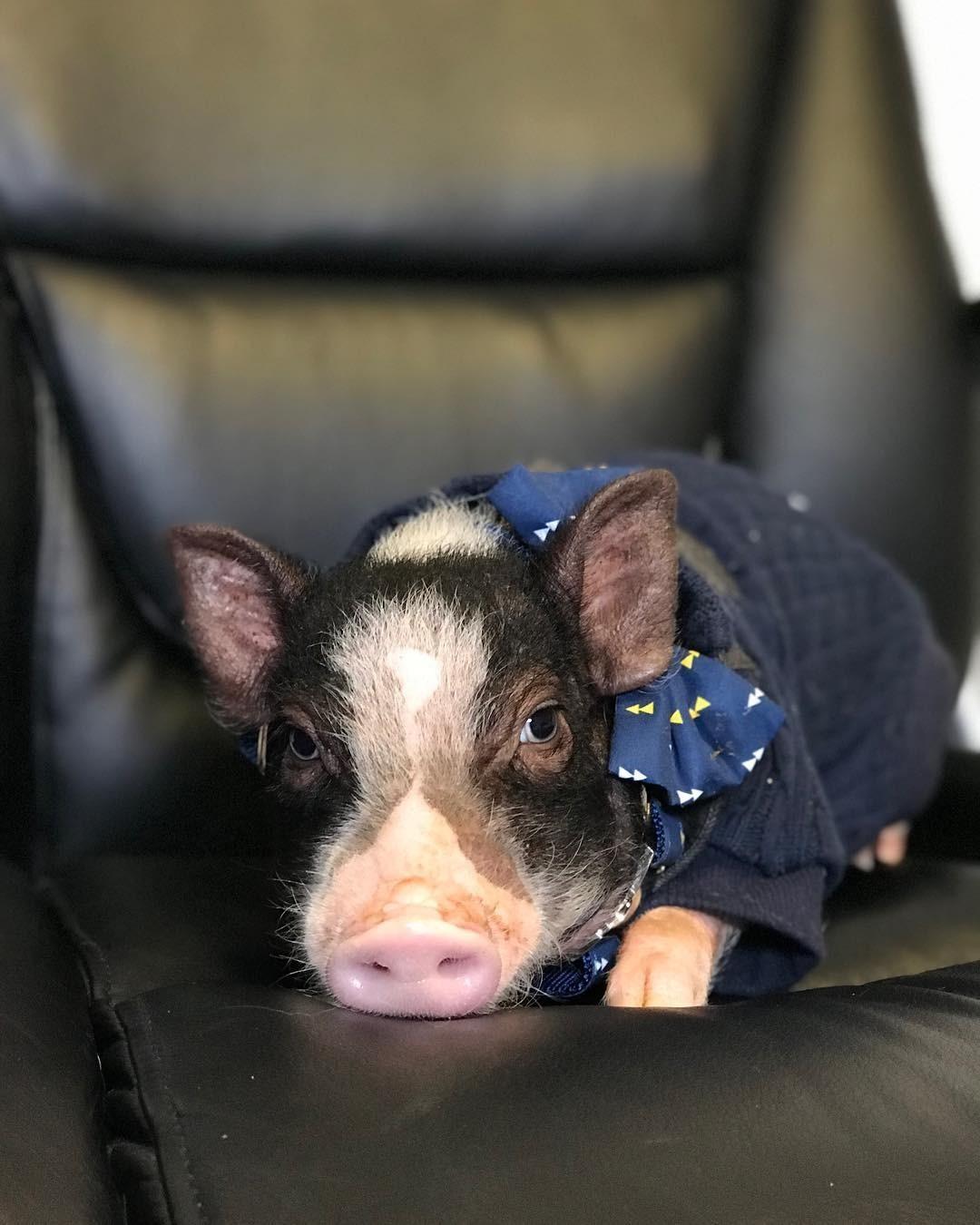 Эту щеголеватую свинку зовут Д&...