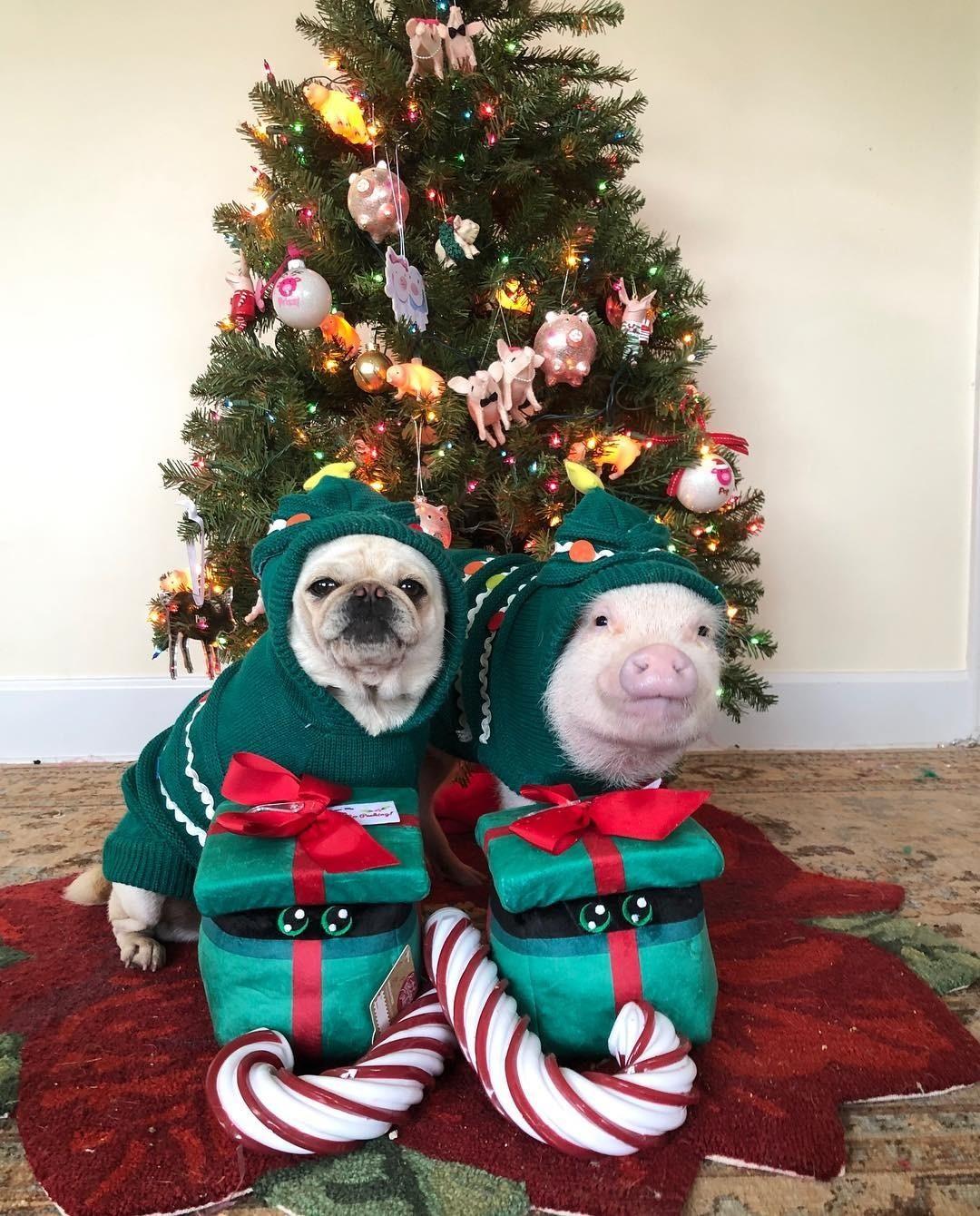 Не чувствуешь новогоднее настроение? А вот эти двое уже полностью прониклись духом наступающих праздников! Мини-пига зовут Присси, а мопса - Поп, исудя пофотографиям вInstagram, они де...