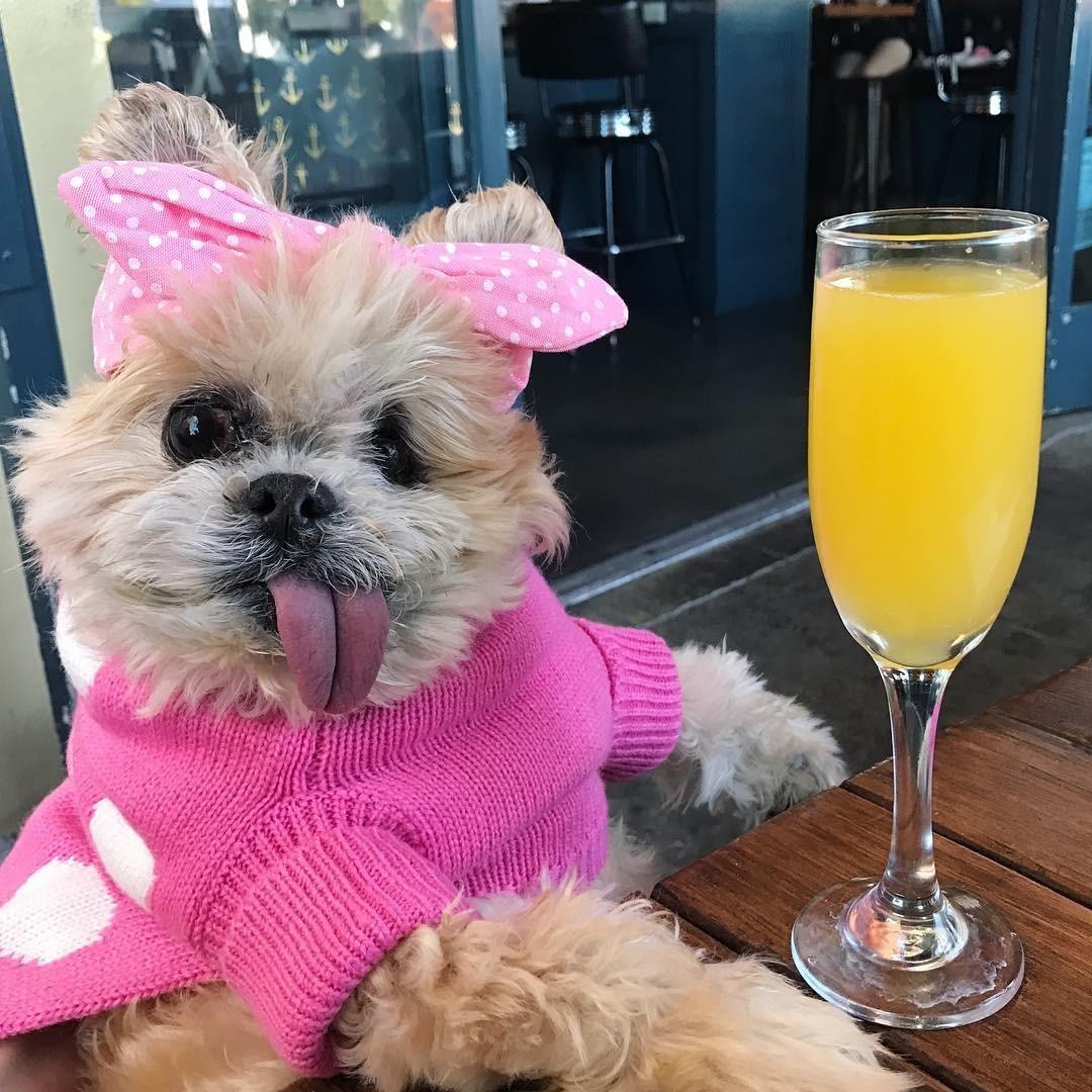 Эта очаровательная крошка свысунутым розовым язычком - песик ши-тцу покличке Марни. Эта еще одна популярная собака, родившаяся сзаметным внешним дефектом. Марни жила вприюте иочень г...