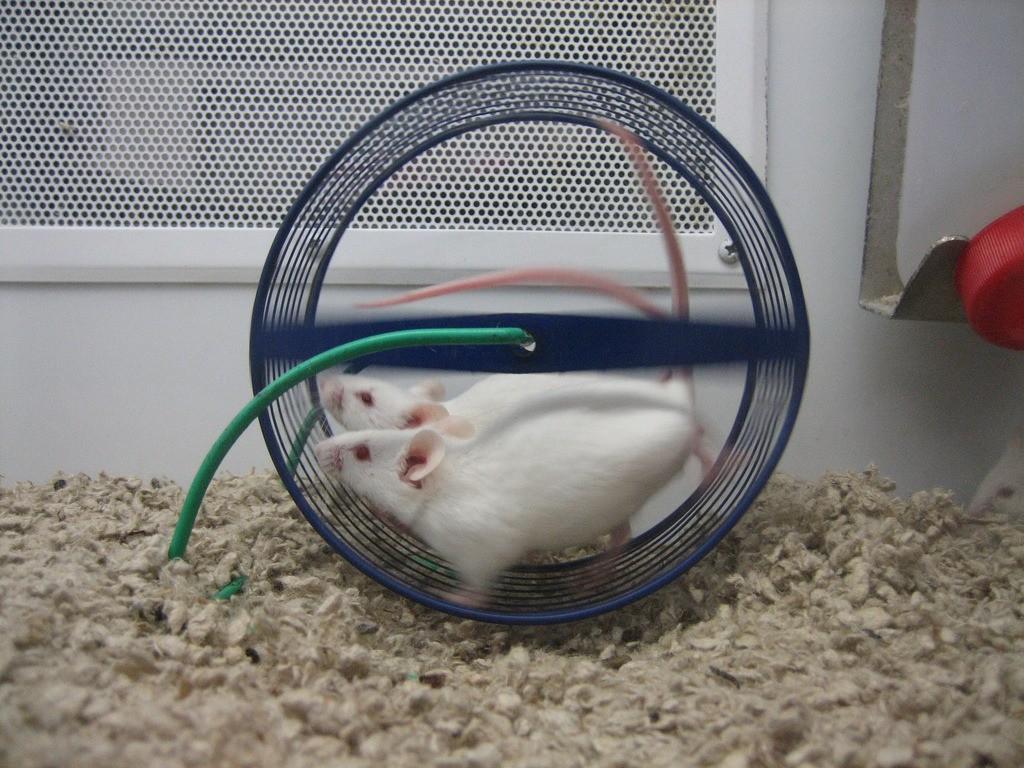 Эксперимент проводился на мыш&#...