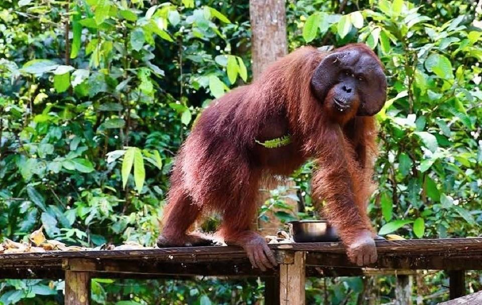 Умилительно до слез: беременная женщина подошла к орангутангу, и он ее поцеловал
