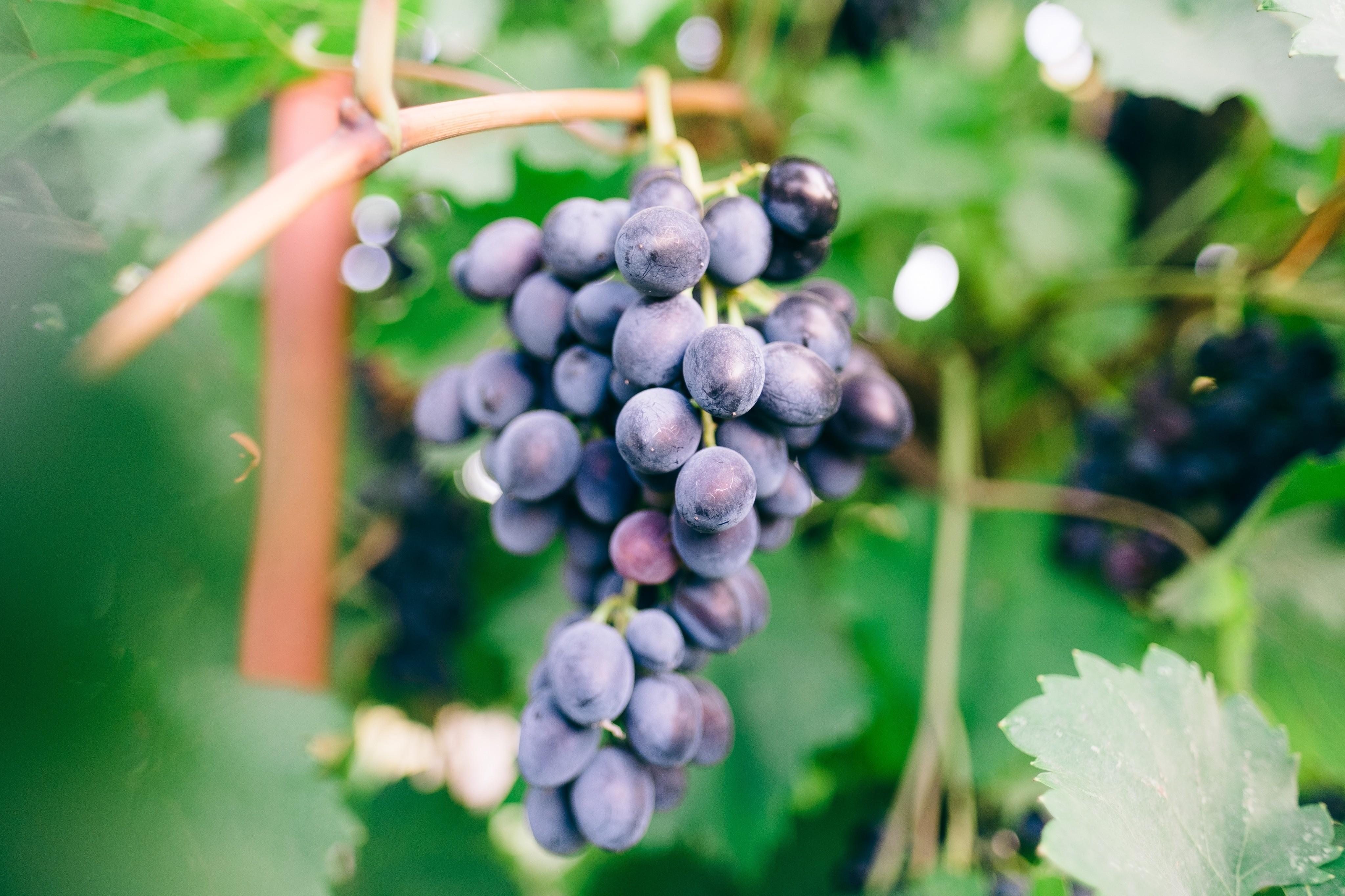 Пикногенол — натуральный экстракт, который получают изкоры французской приморской сосны. Всвою очередь второй компонент делается изкосточек винограда Vitis vinifera. Оба средства содер...