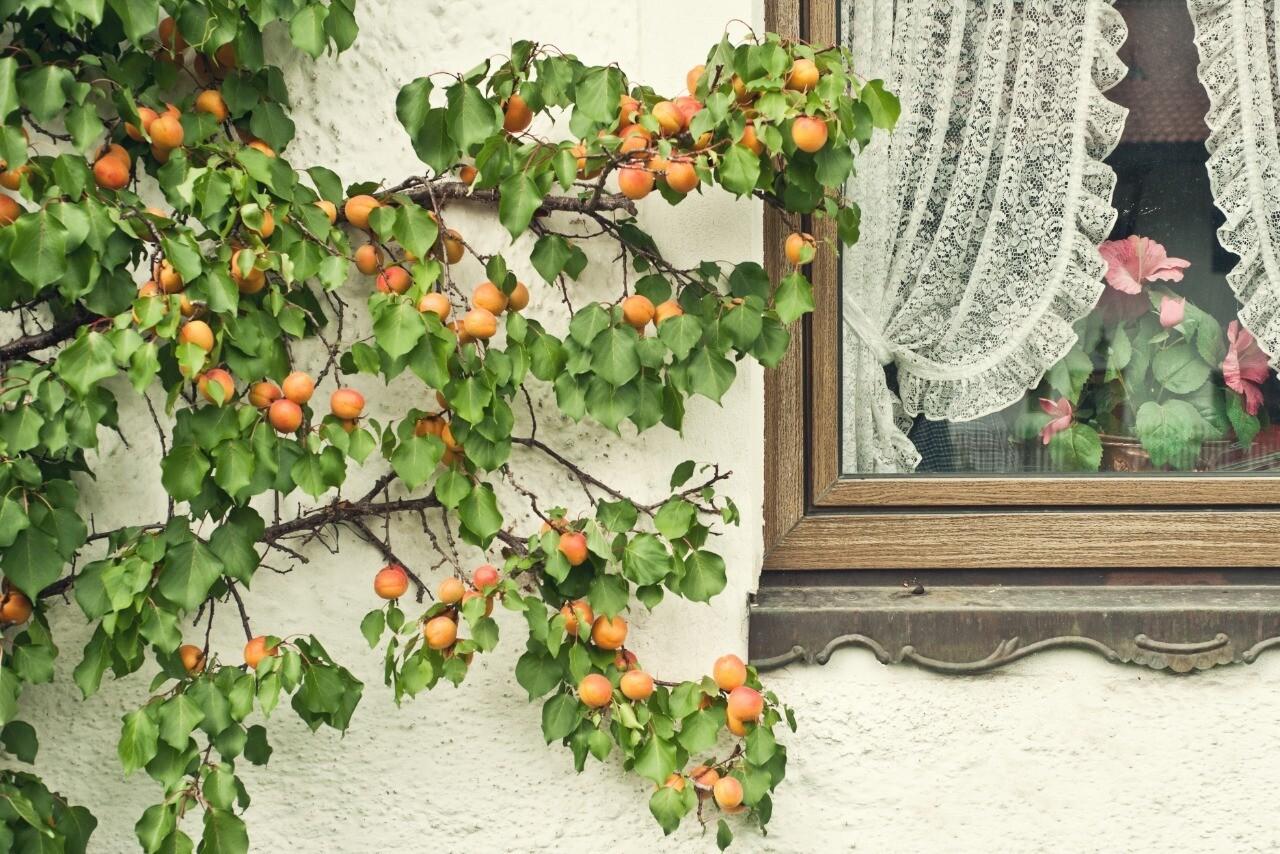 Поливать и любить: как вырастить плодоносящее дерево из косточки абрикоса