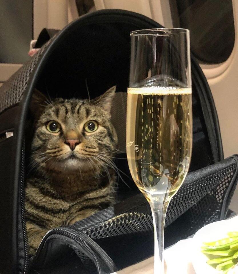 «Я-Мы, кот Виктор»: пользователи Сети заступились затолстого домашнего любимца после скандала с«Аэрофлотом» (мемы встудию)