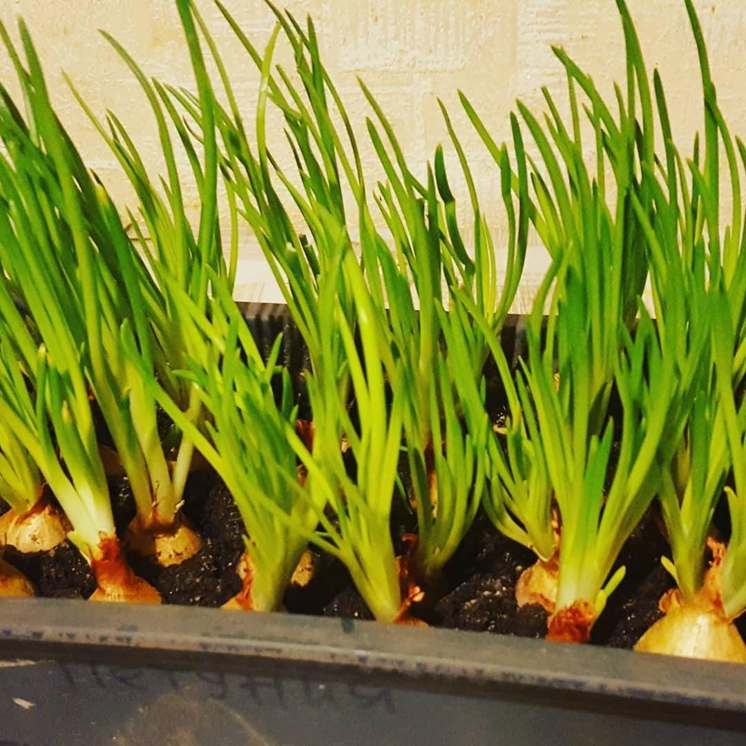 Подготовленные ипросохшие после замачивания семена высаживают наглубину около полутора сантиметров. Допоявления первых ростков (в среднем этот период занимает около двух недель) горшоч...