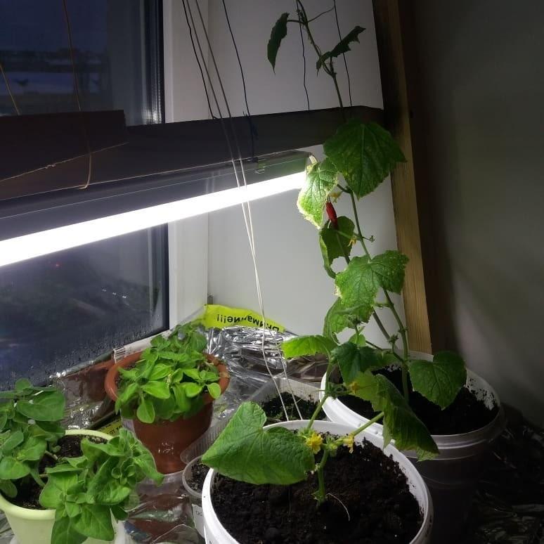 Также следует помнить отом, что зимние месяцы, когда продолжительность светового дня минимально (декабрь, январь) следует обеспечивать растению дополнительное освещение припомощи фитола...