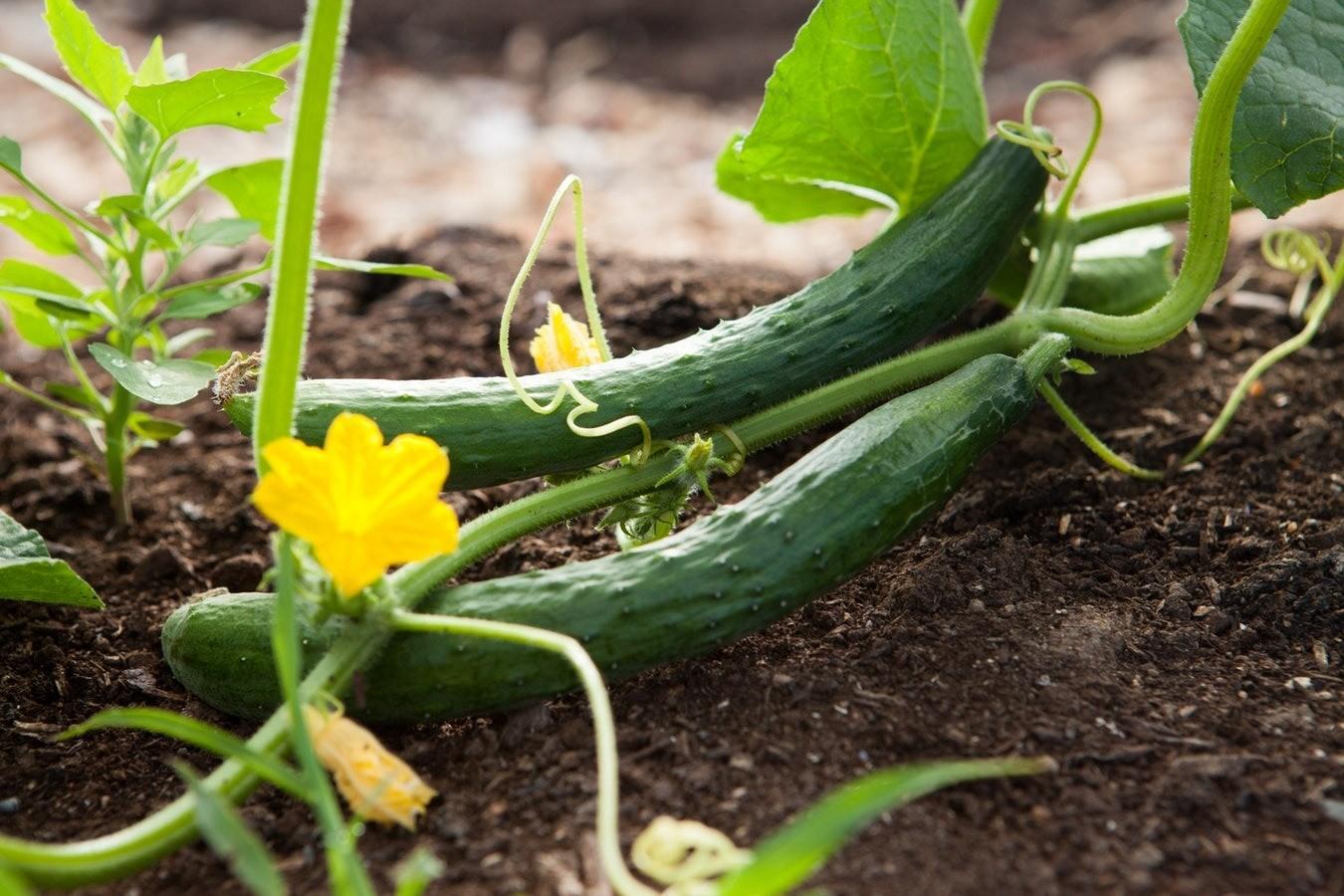 Выращивание огурцов на подоконнике зимой: как такое возможно?