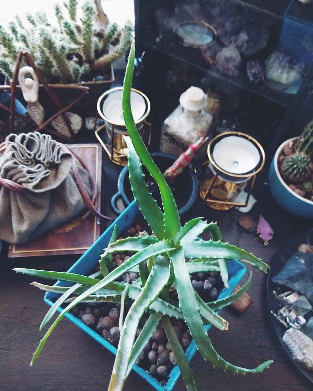 Алоэ — лечебное растение, котор...