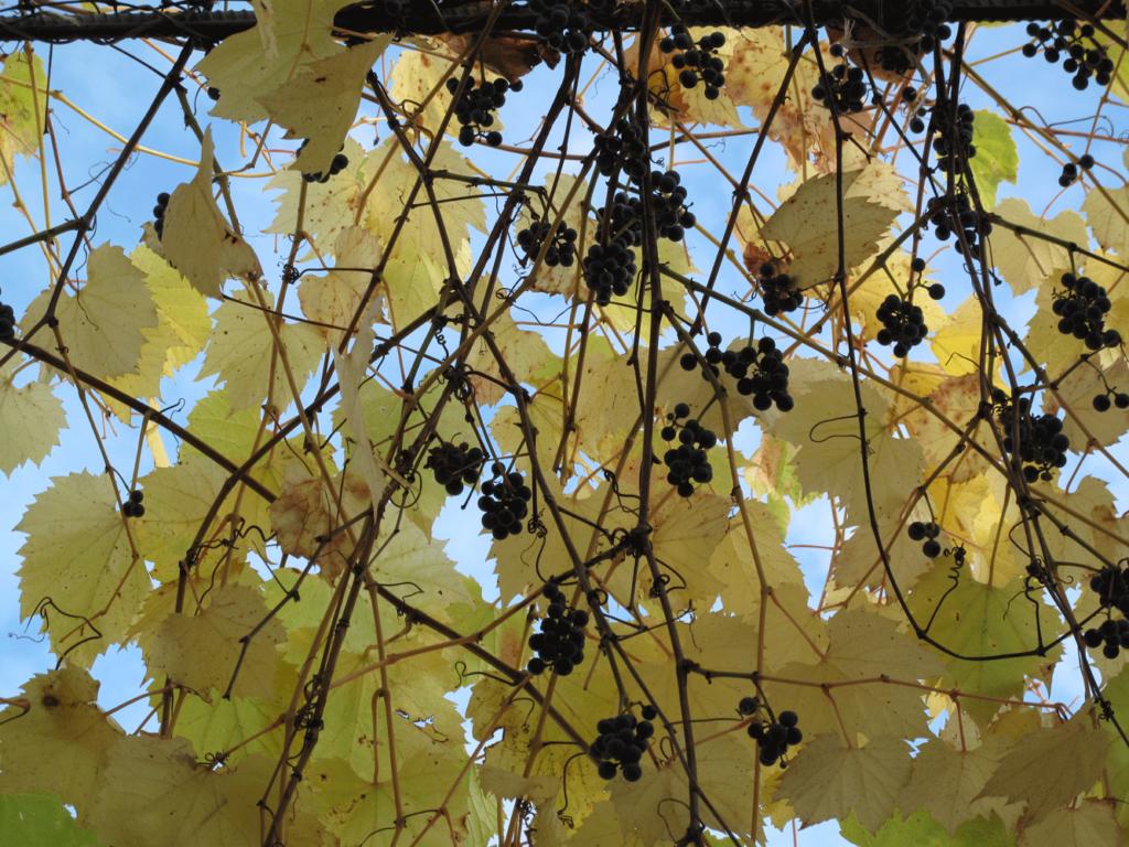 Виноград-амурский