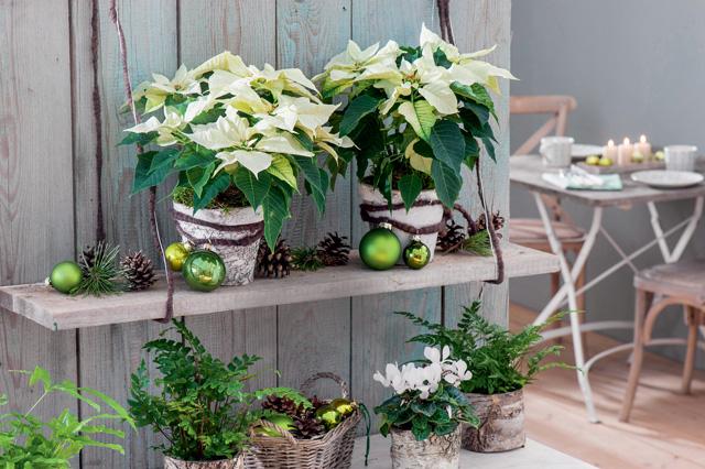Цветущие зимой комнатные растения: выбор и уход