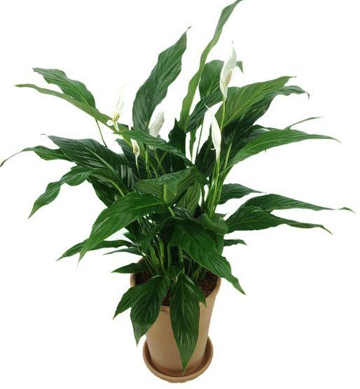 Самые ядовитые комнатные растения: 10 фото