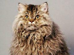 Котики с кудрявой шерстью