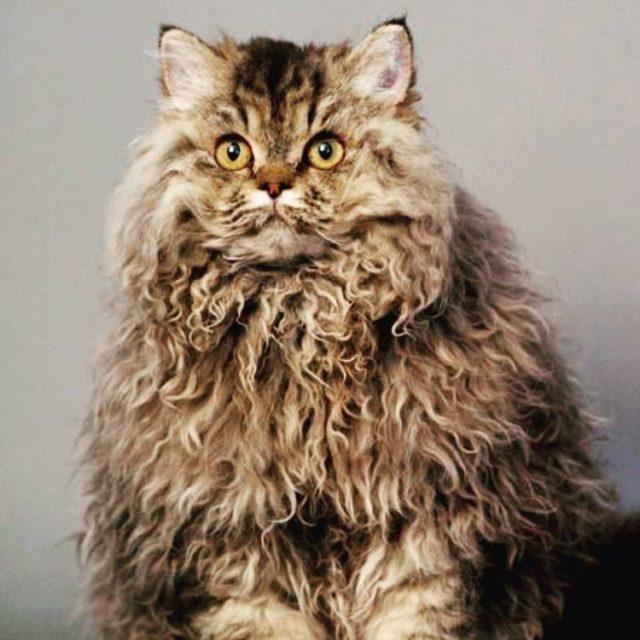 Минутка умиления: котики с кудрявой шерстью