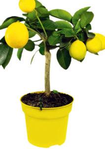 Лимонное дерево из косточки. Пошаговая инструкция